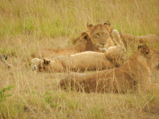 African Pearl Safaris: Lions