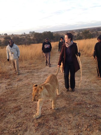 Antelope Park: Walk with lions - remember to pack warmly for winter.