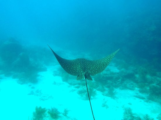 Looe Key Dive Center : Spotted Eagle Rays are frequent vistors on the reef!