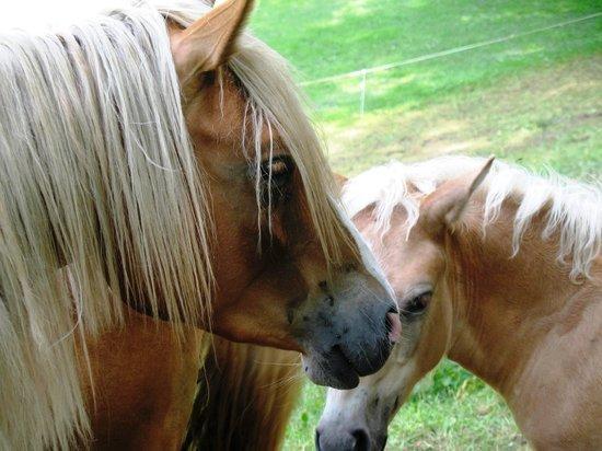 Agriturismo La Peta : I cavalli nei prati antistanti l'agristurismo La Pera
