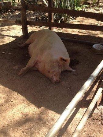 Lola's: Lola the mascot pig