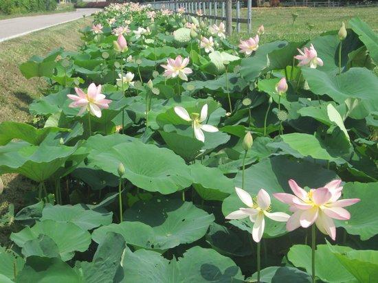 Agriturismo Boaria Bassa: Flowers near Boaria Bassa