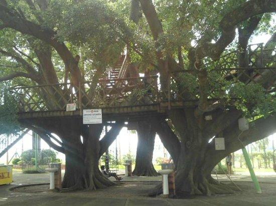 Pousada Maeda : Árvore gigante