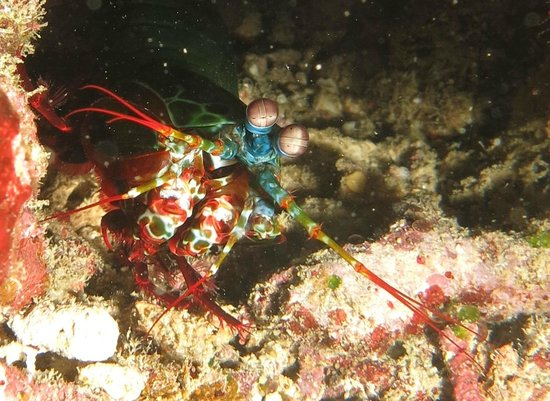 Ocean Dreams Pemuteran: mantis shrimp