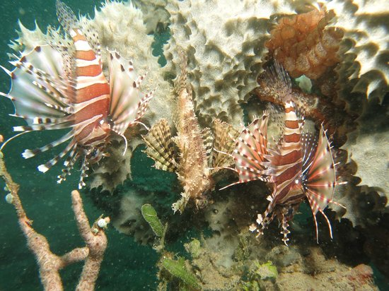 Ocean Dreams Pemuteran: 2 lion fish and a scorpion fish