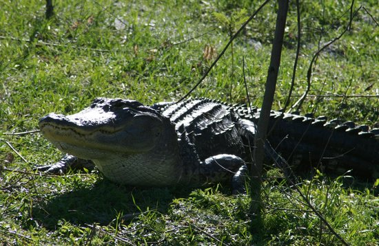 Boggy Creek Airboat Rides: Gator we saw on the tour