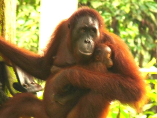 Sepilok Orangutan Sanctuary: Mum brings baby for a feed
