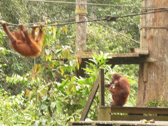 Sepilok Orangutan Sanctuary: Mum,baby & a hanger on