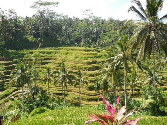 Tegalalang Rice Terrace : テガラランのライステラス