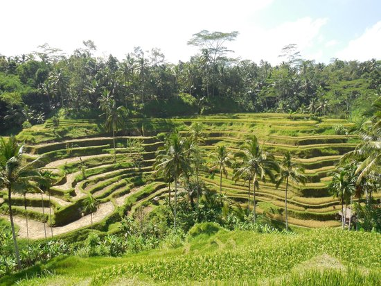 Tegalalang picture of tegalalang rice terrace ubud for Tegalalang rice terrace ubud