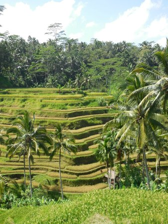 Tegalalang Rice Terrace: テガラランのライステラス