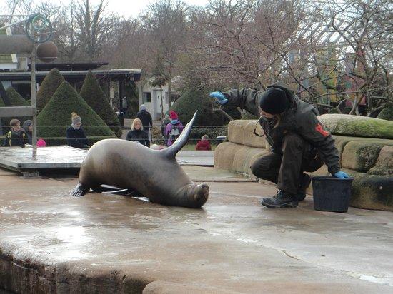"""Copenhagen Zoo: """"spettacolo"""" foca"""