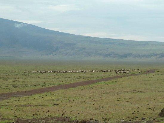 Empakaai Crater: bestiame dei masai
