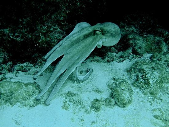 Looe Key Dive Center : Octopus are always a special treat on the reef!