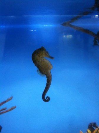 Mote Marine Laboratory and Aquarium: One of many Sea Horses @ Mote