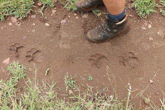 Leopard Mountain Safari Lodge : Lions ahead