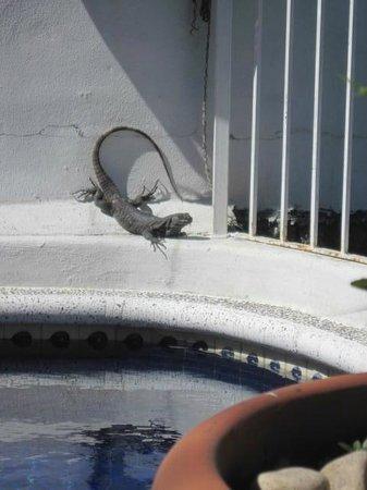 Hotelito Rolando: The pool resident Iguana