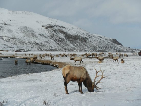 National Elk Refuge: Nat'l Elk Refuge