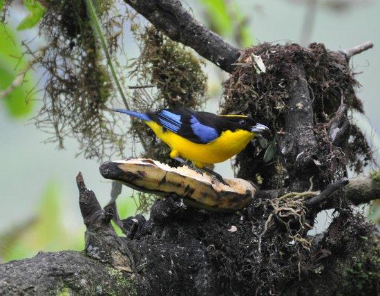 San Jorge de Tandayapa Hummingbird Sanctuary & Lodge: Blue Winged Mountain Tanager