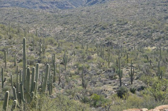 Rincon Mountain Visitor Center: Valley of saguaros
