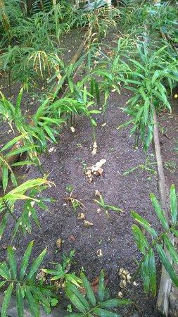El Quetzal de Mindo: Ginger garden