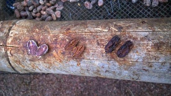 El Quetzal de Mindo Chocolate Tour: Cacao beans in various stages of fermentation