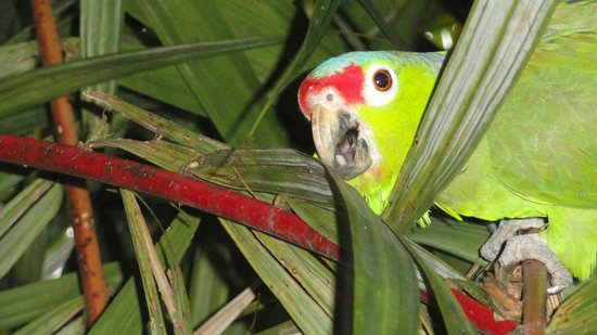 Cafe Rico: Talking Parrot
