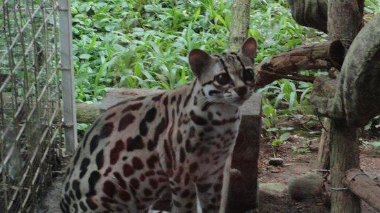 Fundación Jaguar Rescue Center: A Beautiful Cat