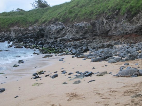 Paia, HI: Many Sea Turtles