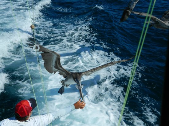 Roosterfish 1 picture of redrum sportfishing cabo san for Cabo san lucas fishing charters prices