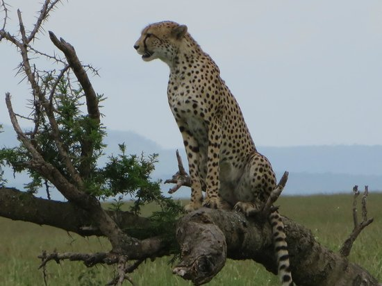 Access2Tanzania : Cheetah on a branch