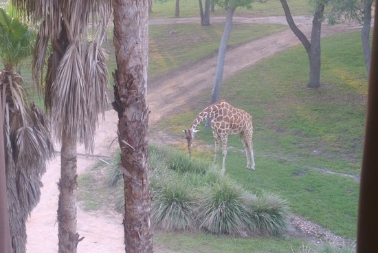 Disney's Animal Kingdom Lodge: The giraffe outside my window!