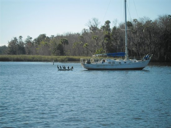 Plantation on Crystal River: cormorants on crystal river