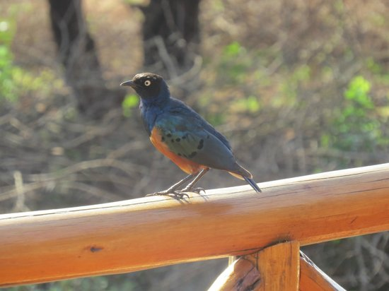 Ngutuni Safari Lodge : starling perching on the patio