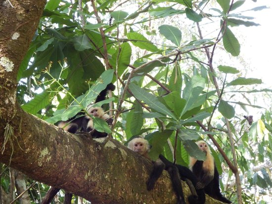 Star Mountain Jungle Lodge: many monkeys in the trees