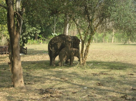 Nam Ou Riverside Hotel & Resort: Elephants