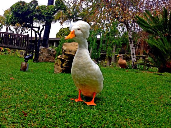 Ramada Santa Barbara: Mother Goose actually walks around the grounds. Very nice lagoon and grounds.