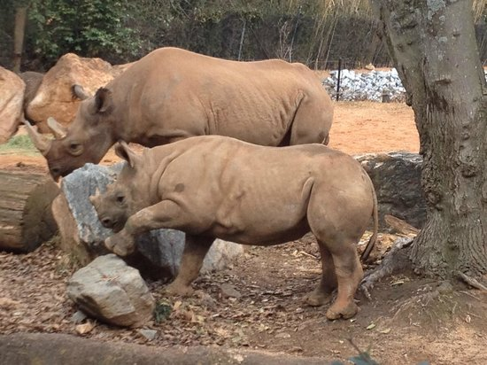 Zoo Atlanta: Rhino Mom and Baby
