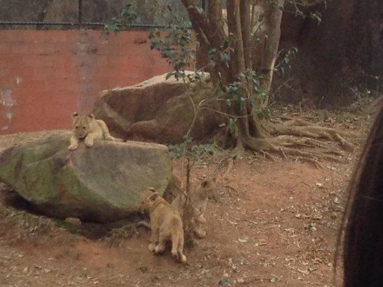 Zoo Atlanta: Lion cubs