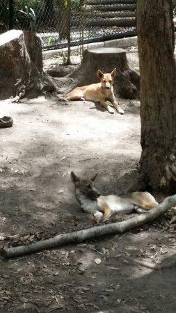 David Fleay Wildlife Park: Lazy dingos