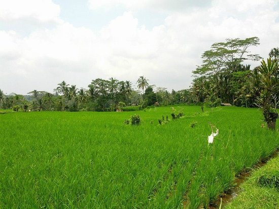 Happy Bike Cycling Tour: Some of the paddy fields seen during our ride