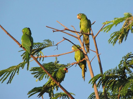 Hampton Inn & Suites by Hilton San Jose Airport : Hundreds of parrots right outside
