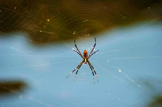 "Batchelor, Australia: ""Local"" Golden Orb spider"