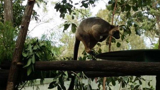 David Fleay Wildlife Park: Bounce bounce bounce.