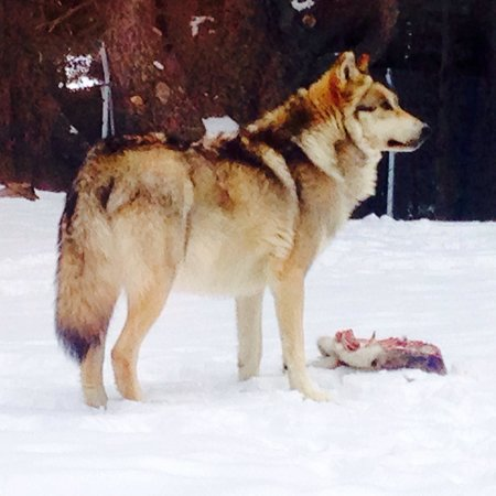Naturlandia: Lobos