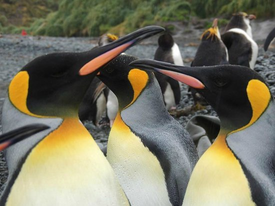 Tasmania, Australia: King Penguins