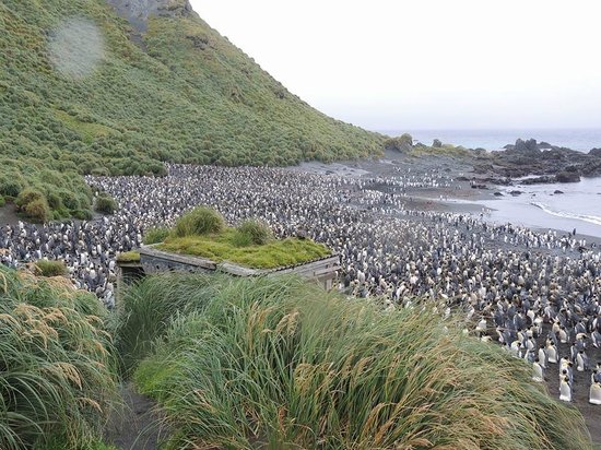Tasmanien, Australien: colony of King Penguins
