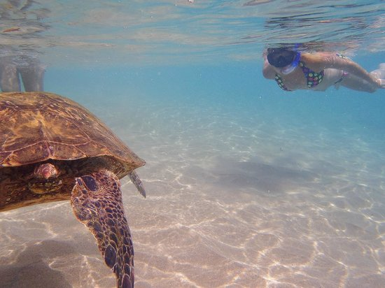 Sheraton Maui Resort & Spa: a resident turtle
