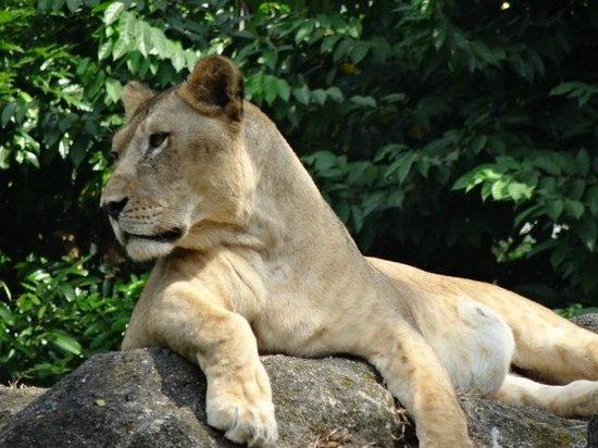 Singapore Zoo: Lioness