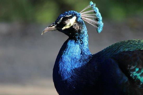 Coconut Coast Villas: Our resident wild peacock